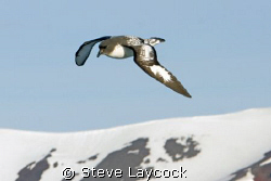 Cape petral, flying past the snowy peaks of Antartica by Steve Laycock 